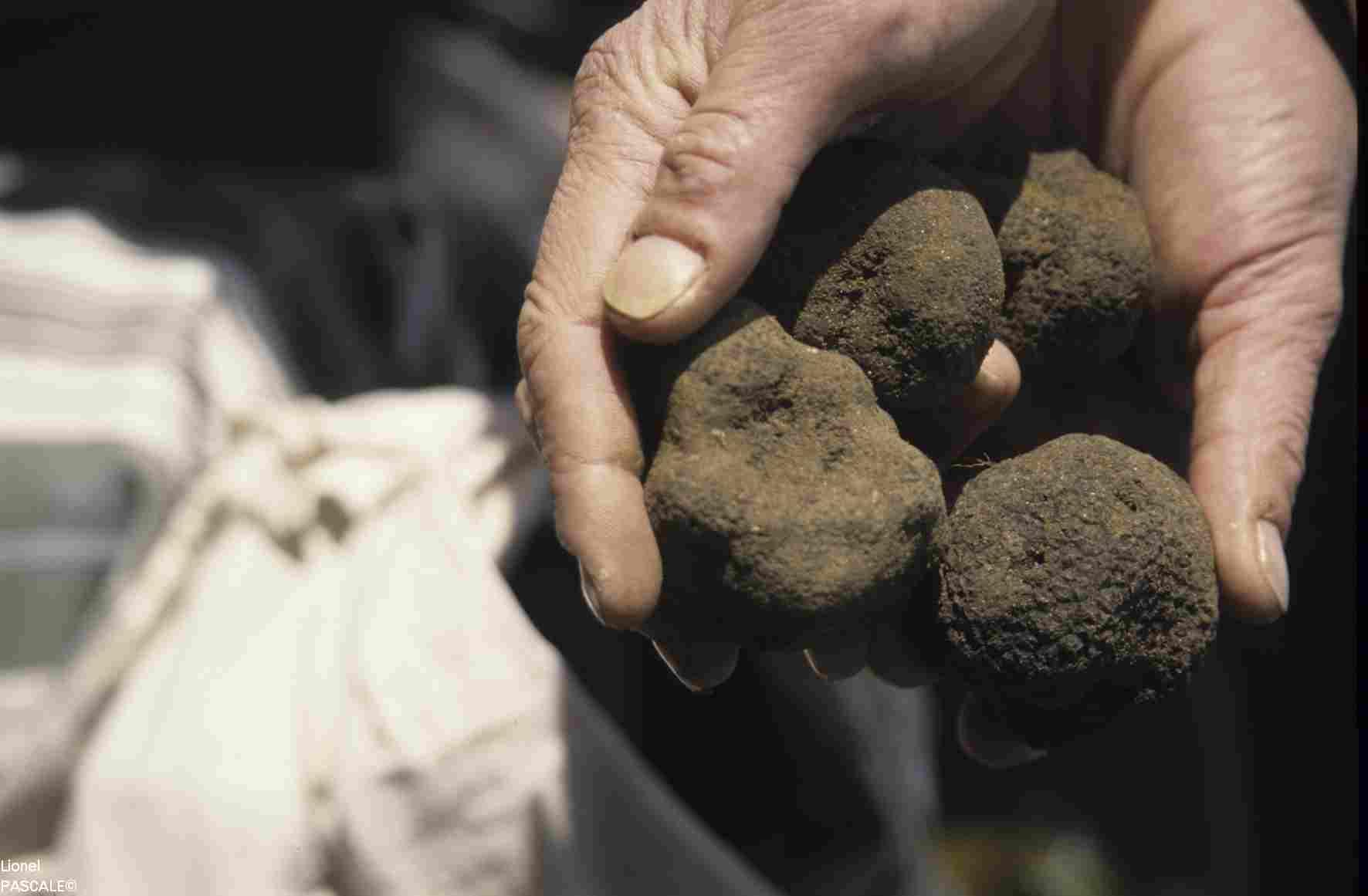 Crédit photo Lionel PASCALE- Truffe noire en Drôme - Récolte -
